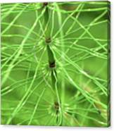 Horsetail Reed 2 Canvas Print
