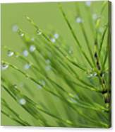 Horsetail With Dew Canvas Print