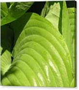 Hosta Curls Canvas Print