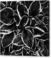 Hosta In Black And White Canvas Print