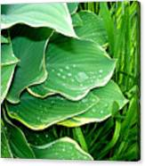 Hosta Leaves And Waterdrops Canvas Print