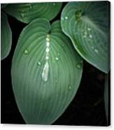Hostas After The Rain Canvas Print