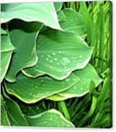 Hostas And Grass Canvas Print