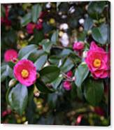 Hot Pink Camellias Glowing In The Shade Canvas Print