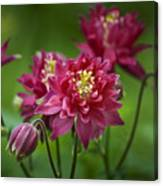 Hot Pink Columbine Canvas Print