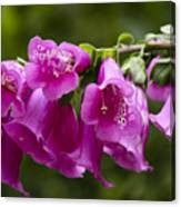 Hot Pink Foxglove Canvas Print