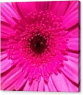 Hot Pink Gerbera Canvas Print