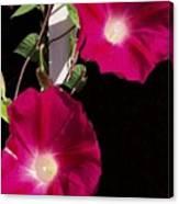 Hot Pink Glories Canvas Print