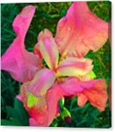 Hot Pink Iris Flower Canvas Print