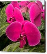 Hot Pink Orchids Canvas Print