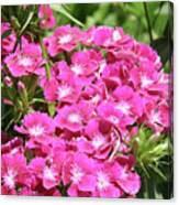 Hot Pink Sweet William Flowers In A Garden Blooming Canvas Print