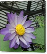 Hothouse Waterlily Canvas Print