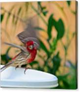 House Finch - 2 Canvas Print