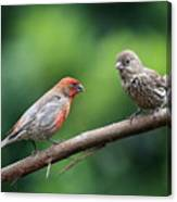 House Finch Courtship Canvas Print