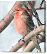 House Finch In An Apple Tree Canvas Print