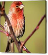 House Finch In Full Color Canvas Print
