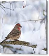 House Finch In Snow Canvas Print