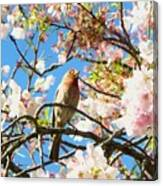 House Finch In The Cherry Blossoms Canvas Print