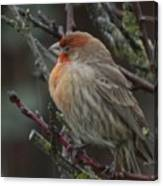 House Finch On A Rainy Day Canvas Print