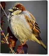 House Sparrow 1 Canvas Print