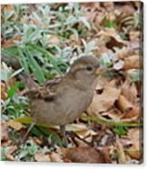 House Sparrow Canvas Print