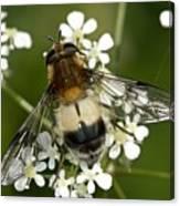 Hoverfly Leucozona Lucorum Canvas Print