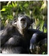 Howling Chimpanzee Canvas Print
