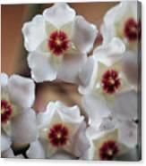 Hoya Bella Bloom Canvas Print