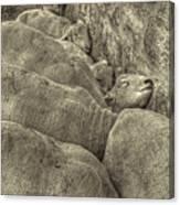 Huddled Yearling Rams Canvas Print