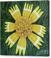 Huisache Daisy Canvas Print
