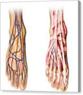 Human Foot Anatomy Showing Skin, Veins Canvas Print