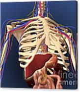Human Skeleton Showing Digestive System Canvas Print