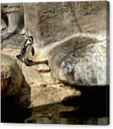 Humboldt Penguin 1 Canvas Print