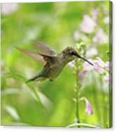 Hummer And Obedient Plant Canvas Print
