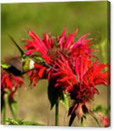 Hummer In The Bee Balm Canvas Print