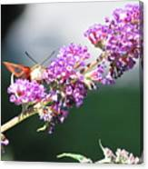 Humming Bird Moth Canvas Print