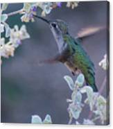 Hummingbird 0091 Canvas Print