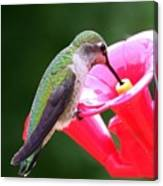 Hummingbird 33 Canvas Print