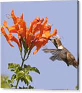 Hummingbird And Honeysuckle Canvas Print