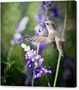 Hummingbird And Purple Lupine  Canvas Print
