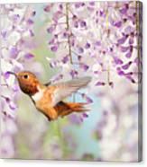 Hummingbird At Wisteria Canvas Print