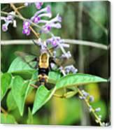 Hummingbird Bee Canvas Print