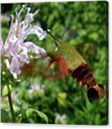 Hummingbird Clear-wing Moth At Monarda Canvas Print