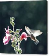Hummingbird Drinking Pink Hollyhock Photography Canvas Print