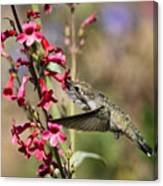 Hummingbird Haven  Canvas Print