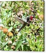 Hummingbird In Flight Canvas Print