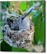 Hummingbird In Nest 1 Canvas Print