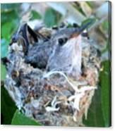 Hummingbird In Nest 2 Canvas Print