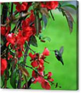 Hummingbird In The Flowering Quince - Digital Painting Canvas Print