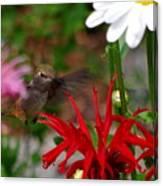 Hummingbird Mid Flight Canvas Print